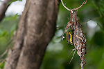 Nesting Olive-backed Sunbird (Cinnyris jugularis), also known as the Yellow-bellied Sunbird, is a species of sunbird found from Southern Asia to Australia.