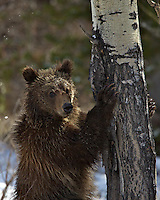 The Tree Hugger, a one year old grizzly bear pauses from climbing a tree in Grand Teton National Park.