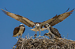 An osprey's graceful wings fan out as it returns to its nest with a fish for its hungry offspring. Ospreys have adapted to many different environments; wherever fish are found, ospreys follow.