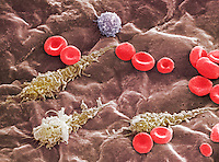Red and white blood cells in a portal vein. SEM X1900  **On Page Credit Required**