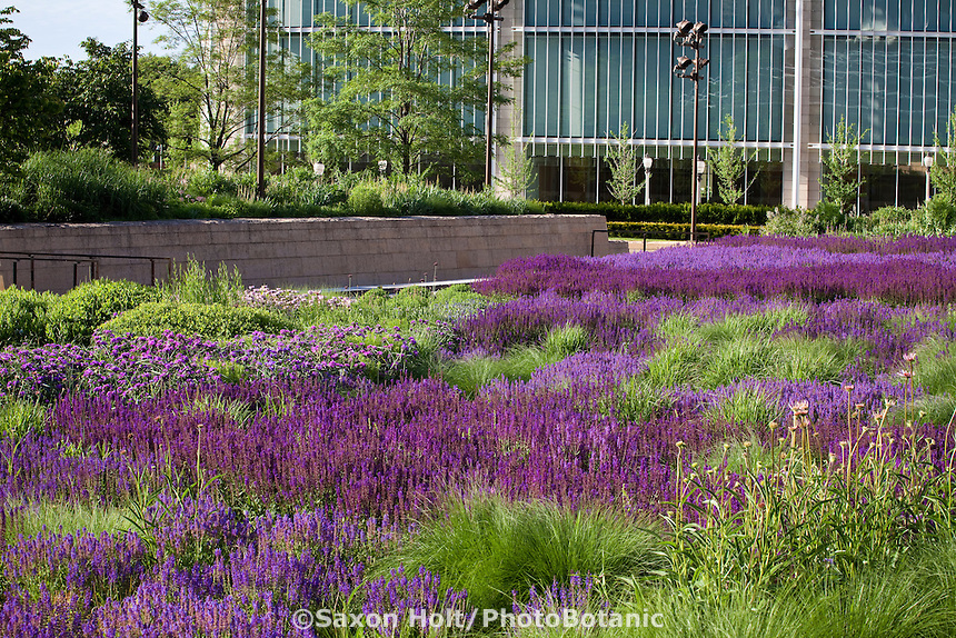 Tapestry of Meadow Sages (Salvia) and other sun perennials Lurie Garden at Millenium Park next to Art Institute of Chicago, rooftop garden over parking garage