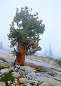A hearty redwood clings to the fog shrouded slopes of Yosemite's high country.