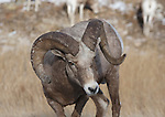 Bighorn Sheep ram and ewes in early winter