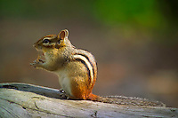 Algonquin Park, Ontario, Canada, July 2006. A chipmunk munches on the scraps at one of the campsites. The Algonquin Provincial Park consists of many lakes that can be explored by canoe and which are connected by portages. Photo by Frits Meyst/Adventure4ever.com