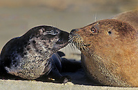 677882094 a wild harbor seal female phoca vitulina shares an intimate moment with her young pup on a sandy beach in la jolla california