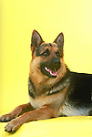 German Shepherd on yellow seamless<br />