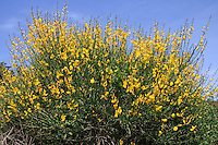 Pfriemenginster, Binsenginster, Spanischer Ginster, Spartium junceum, Spanish broom, or weaver's broom, Le spartier à tiges de jonc, spartier