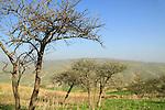 T-150 Acacia Albida trees in Nahal Tavor