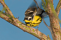 592010016 a wild male magnolia warbler setophaga magnolia - was dendroica magnolia - in breeding plumage flaps its wiings while perched in a tree on south padre island cameron county texas united states