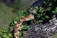 412850004 a wild bullsnake pituophis catenifer sayi lays coiled in a mesquite tree in the hill country of central texas