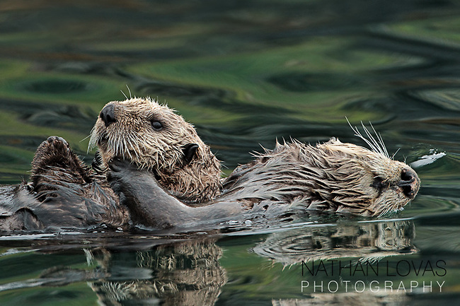 Sea otter adult swimming with young otter;  Alaska in wild.