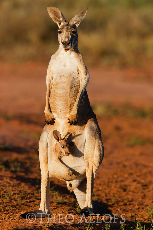 Australia,  NSW, Sturt National Park; red kangaroo female standing with joey looking out of pouch (Macropus rufus); the red kangaroo population increased dramatically after the recent rains in the previous 3 years following 8 years of drought