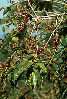 Coffee fruit (drupe) on tree in plantation, Mexico, Puebla State, Sierra de Puebla.