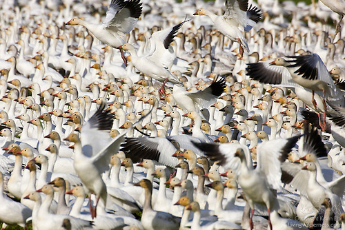 Snow Geese, Lined Up, Skagit Valley, Washington