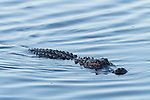 Ding Darling National Wildlife Refuge, Sanibel Island, Florida; an American Alligator swimming in shallow water in early morning light