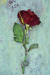 Dried deep red rose lying with its stem and leaves on marbled slate stone