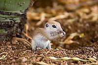 Round-tailed Ground Squirrels
