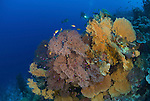 Colony of fan corals with diver in background