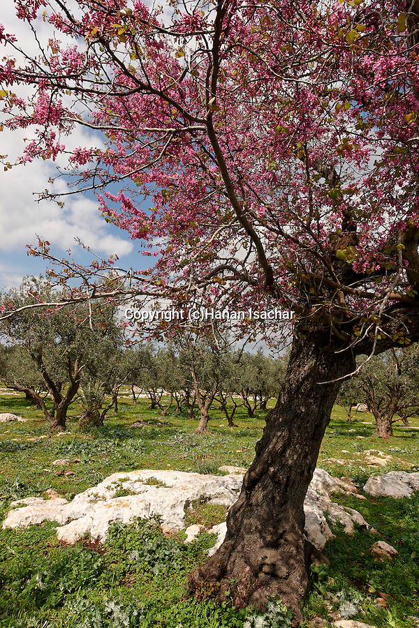 Israel, the Lower Galilee. Judas-Tree (Cercis Siliquastrum) in Tivon