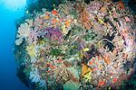 Bligh Waters, Rakiraki, Viti Levu, Fiji; a Trumpetfish sits in an opening between colorful soft corals and gorgonian sea fans growing along a sheer vertical wall
