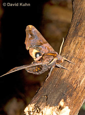 0304-1205  Small-eyed Sphinx, Paonias myops  © David Kuhn/Dwight Kuhn Photography