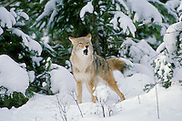 Coyote barking and yipping in fresh snow.  Western U.S., winter.