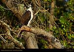 Osprey in Mangrove Swamp, Bunch Beach, Sanibel Island, Florida