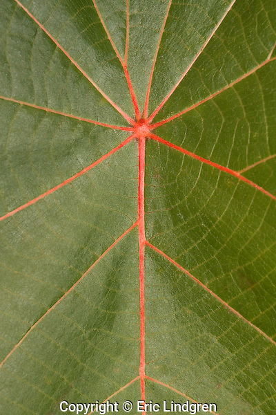 The contrast of the red venation and the clear green blade on the leaves of a Macaranga tree results in an almost symmetrical pattern. A common park tree in Brisbane, Queensland.    //   Macaranga - Euphorbiaceae: Macaranga tanarius. About 24 similar-looking species in the genus. A small large-leafed (length to 40cm) tree growing to about 6m,  Macaranga is a component in the early succession of the re-establishment of tropical and sub-tropical rainforests.  It is one of the initial group of fast-growing species that quickly fill the void when a break occurs in the canopy of the forest and sunlight penetrates directly to the ground. Fast-growth = short life-span, and Macaranga quickly disappears as the longer-lived components of the mature rainforest return. In Australia M. tanarius occurs in sub-tropical and tropical lowland coastal rainforests from  New South Wales north through Queensland to the Northern Territory. Also in lowland rainforests of New Guinea, west through Indonesia to south-east Asia and Africa, and east to the south-west Pacific islands of Melanesia.