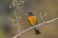 538660022 a wild male black-headed grosbeak pheucticus melanocephalus perches on a pine bough in madera canyon green valley arizona united states