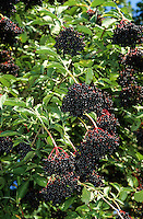 Schwarzer Holunder, Früchte, Holunderbeeren, Fliederbeeren, Sambucus nigra, Common Elder, Elderberry