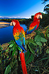 This pair of scarlet macaws were hand raised by biologists in the Tambopata-Candamo National Reserve and released into the wild, so they are very comfortable around people. To take this wonderful image, I was led by one of the biologists to this location.