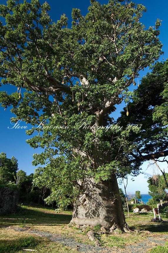 Baobob Tree<br /> Butler Bay St Croix USVI.