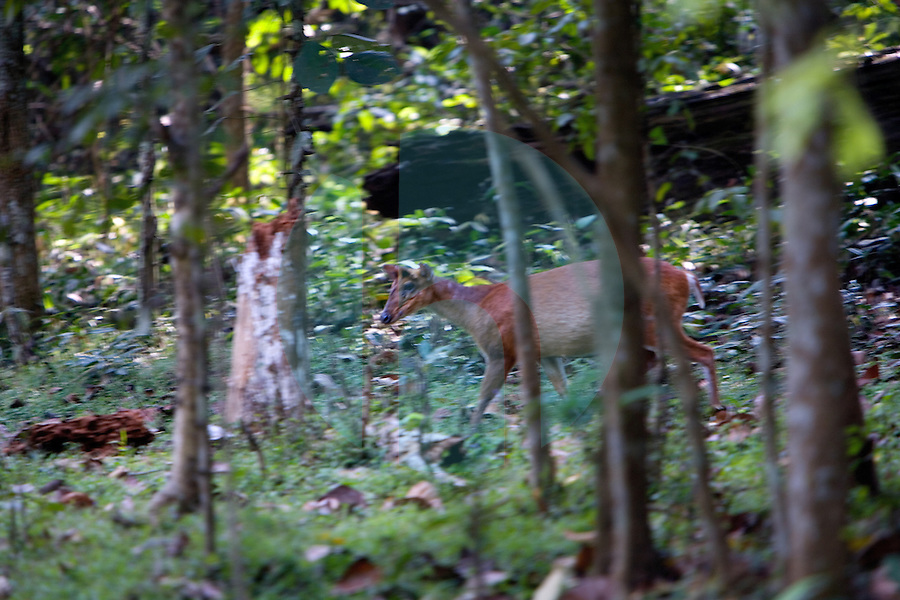 20080131_Periyar, India_ A Barking deer walks the forrest in the Periyar Wildlife Sancuary in the Southern Indian state of Kerala.  Photographer: Daniel J. Groshong/Tayo Photo Group