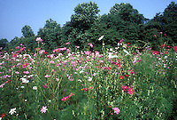 Cosmos meadow for wildlife, especially butterflies, against blue sky and evergreens