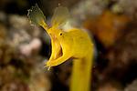 Yellow ribbon eel (Rhinomuraena quaesita).