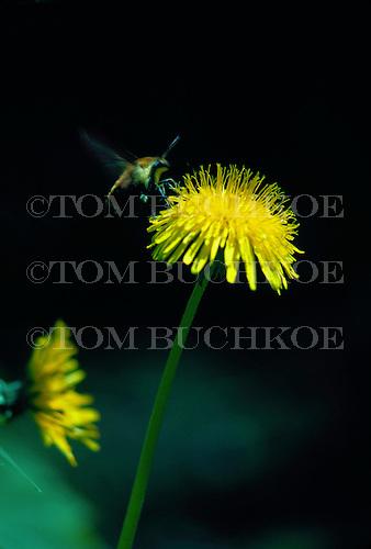 Bee on Dandelion, Taraxacum erythrospermum.