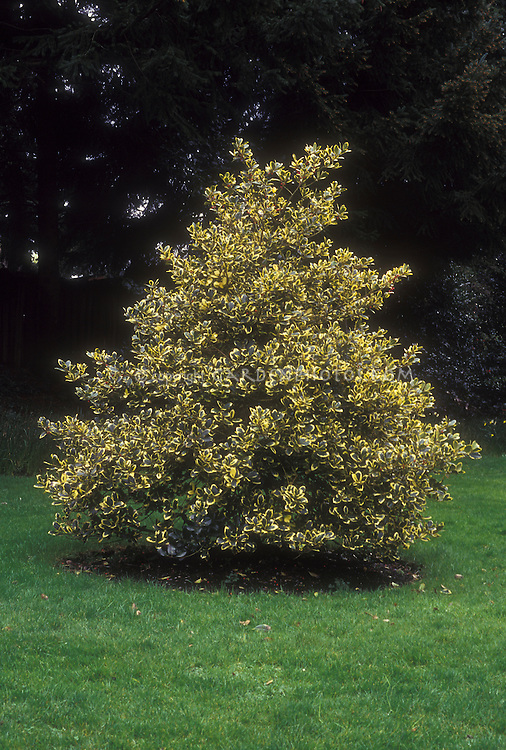 Holly Ilex Golden King showing entire tree with low lying branches