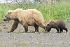 Grizzly Bear Sow and Cub Walking Through Meadow at Silver Salmon Creek, Lake Clark National Park, Alaska