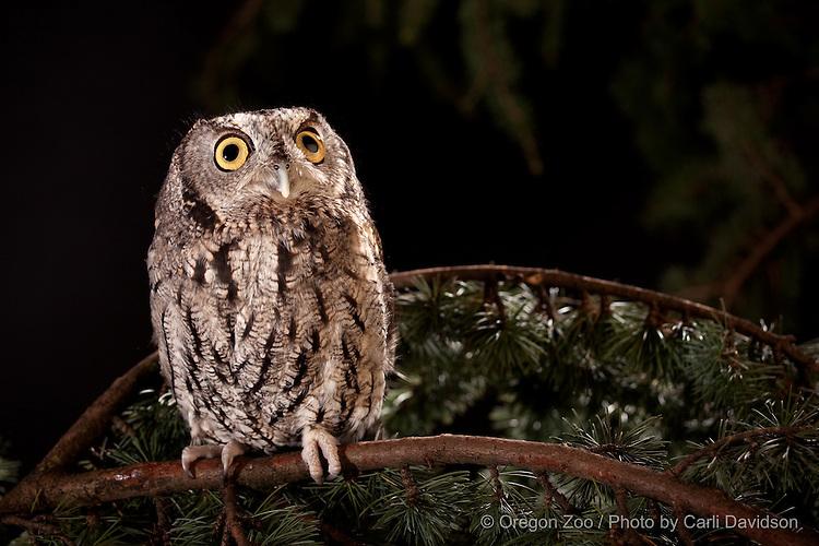 Western Screech Owl (otus kennicottii)