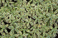 Salvia officinalis 'Icterina', variegated gold and green culinary sage