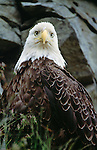 Bald eagles become quite accustomed to close proximity of people on Unalaska Island, Alaska.