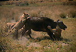African lions attacking a buffalo.