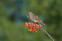 528800244 a wild female house finch podocarpus mexicanus feeds on ocotillo flowers foqueria splendens near green valley arizona united states