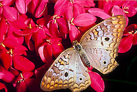 White peacock butterfly,.Anartia jatrophae, on pink flowers, Grand Cayman