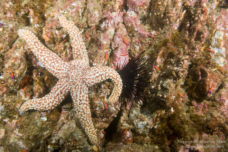 San Clemente Island, Channel Islands, California; a Giant Sea Star (Pisaster giganteus) sits amongst Bluebanded Goby (Lythrypnus dalli) fish perched around a Crowned Sea Urchin (Centrostephanus coronatus) on a wall of rocky reef