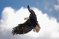 Bald Eagle (Haliaeetus leucocephalus) in flight. The Bald Eagle is the national bird of the United States of America.