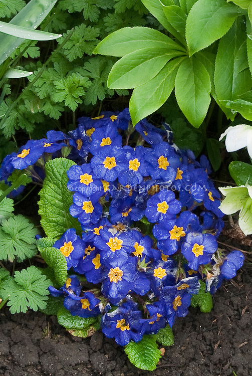 Primula Piano Blue with hellebores in spring bloom, biennial blue flowers with yellow center, compact plants, primroses