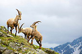 Alpine Ibex (Capra ibex) males fighting, Alps, Italy