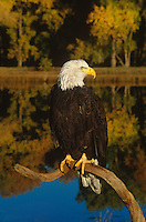 521040086 a captive wildlife rescue adult bald eagle perches on a dead snag over a small pond in central colorado this bird cannot fly and is a permanent wildlife care facility resident