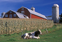 AJ4553, bull, barn, farm, Vermont, Bull (Holstein) lying down in a field next to a cornfield in front of a red barn in Barnet in Caledonia County in the state of Vermont.